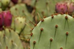 Makroschuß des Kaktusfeigekaktus Stockbilder