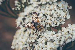 Makroschuß des kleinen Käfers sitzend auf weißen Blumen Lizenzfreie Stockfotografie