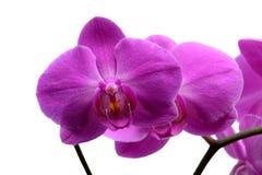 Makroschuß des rosa Orchideenblumenblattes lokalisiert auf Weiß stockbilder