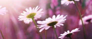 Makroschuß des weißen Gänseblümchens blüht im Sonnenunterganglicht Lizenzfreie Stockbilder