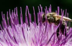 Makroschuß einer Biene auf einer Distelblume stockfotografie