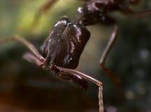 Blockierkiefer-Ameise mit weit offenen Anhängen Stockbild
