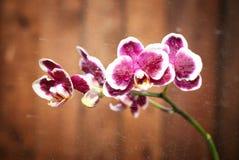Makroschuß einer lila Orchidee mit Wassertröpfchen und -tropfen auf einem hölzernen braunen Hintergrund Lizenzfreies Stockfoto