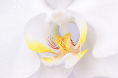 Makroschuß einer Phalenopsys Blume stockbild