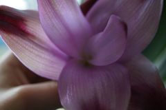 Makroschuß einer purpurroten Lilie in jemand Hand lizenzfreies stockfoto