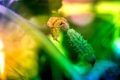Makroschuß einer reifen Gurke Stockfotografie