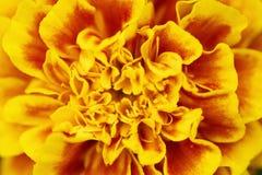Makroschuß einer Ringelblumenblume Stockbilder