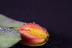 Makroschuß einer Tulpe in den Wassertropfen Lizenzfreies Stockfoto