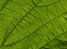 Makroschuß eines Blattes Stockbild