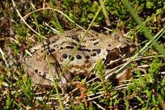 Makroschuß eines erwachsenen gemeinen Frosches, Rana Temporaria, in den Gräsern u. in der Heide an einem heißen Sommertag stockbild