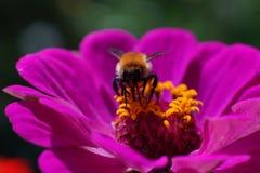 Makroschuß hoverfly an einer purpurroten Blume lizenzfreie stockfotografie