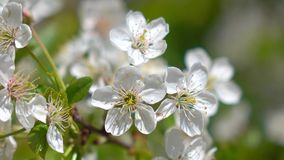 Makroschuß 4K des blühenden Kirschbaums stock footage