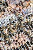 Makroschuß von Bienen auf einer Bienenwabe Stockfoto