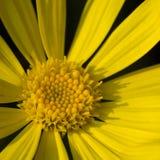 Makroschuß von Blumen - goldene Chrysantheme Lizenzfreie Stockfotografie
