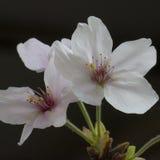 Makroschuß von Blumen - Kirschblüten Stockfoto