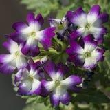 Makroschuß von Blumen - Schönheit Kirschblüte Lizenzfreies Stockfoto