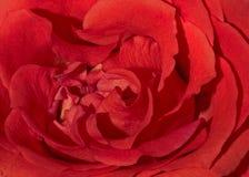 Makroschuß von Blumenblättern einer roten Rose lizenzfreies stockfoto