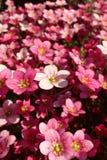 Makroschuß von Saxifraga ` Silber-Kissen `, mit Blumen in voller Blüte in einem Rockery lizenzfreie stockbilder