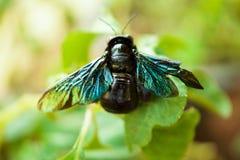Makroschuß von Violet Carpenter Bee auf grünem Blatt im tropischen Wald lizenzfreies stockfoto