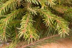 Makroschuß von Weihnachtsbaumasten mit grünen Nadeln Lizenzfreies Stockfoto