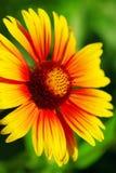 Makroschuß der roten Blume über unscharfem Grün Lizenzfreies Stockbild