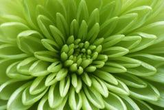 Makroschuß einer grünen Blume Lizenzfreies Stockfoto