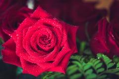 Makroschussabschluß der schönen Rotrose oben Rote Rose stockfotografie