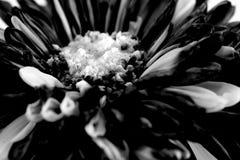 Makroschusshintergrund der schwarzen Blume Stockfotos