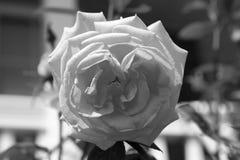 Makroschwarzweiss-Rose im Garten stockbild
