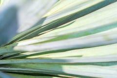 Makrosidor av palmliljan planterar, grön bakgrund blurriness royaltyfri bild
