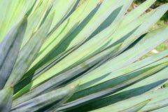 Makrosidor av palmliljan planterar, grön bakgrund blurriness arkivfoton