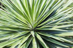 Makrosidor av palmliljan planterar, grön bakgrund blurriness royaltyfri fotografi