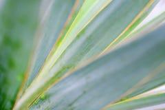 Makrosidor av palmliljan planterar, grön bakgrund blurriness royaltyfri foto
