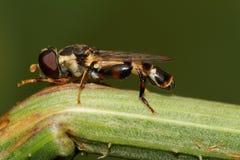 Makrosidosikt av den Caucasian svävandeflugan på växtstammen royaltyfria foton