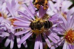 Makrosikt av överkanten av den Caucasian gjorde randig blomman en fluga Arkivfoto