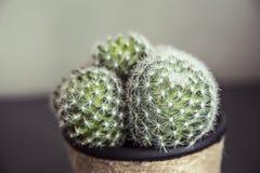 Makrosikt av den lilla kaktuns Arkivfoton