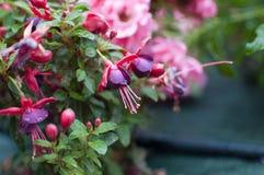 Makrosikt av fuchsiablommor med naturbakgrund i trädgården fotografering för bildbyråer