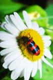 Makroskalbagge på en blomma Arkivfoto