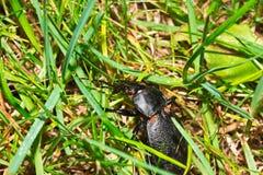 Makroskalbaggefel på gräs i trädgården Arkivfoton