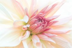 Makroskott av blommainre, rosa kronblad, subtil suddighet arkivfoton