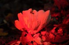 Makroskott av champinjonen med ett rött filter Royaltyfria Bilder