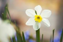 Makroskott av Daffodil/gulingpingstliljan i trädgården Royaltyfri Bild