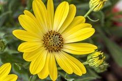 Makroskott av den gula tusenskönan Fotografering för Bildbyråer
