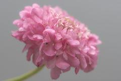 Makroskott av den rosa Scabioza blomman Arkivfoto