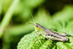 Makroskott av den stora gröna gräshoppan Royaltyfria Bilder