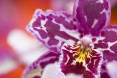 Makroskott av den unika orkidén av Phalaenopsisslaget Royaltyfri Foto