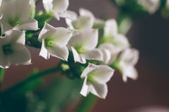 Makroskott av den vita mycket lilla blomman Arkivfoto