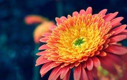 Makroskott av en vibrerande orange blomma Arkivbilder
