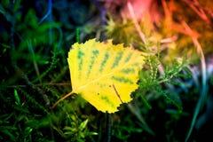Makroskott av ett gult blad Fotografering för Bildbyråer