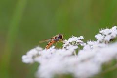 Makroskott av flugan på blomman royaltyfri bild